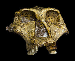 250px-Original_of_Paranthropus_robustus_Face