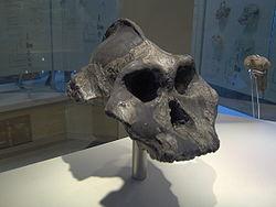 Cráneo de Paranthropus Aethiopicus