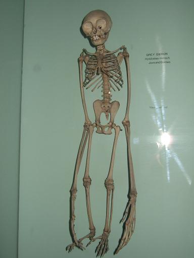 Hylobates_moloch_skeleton