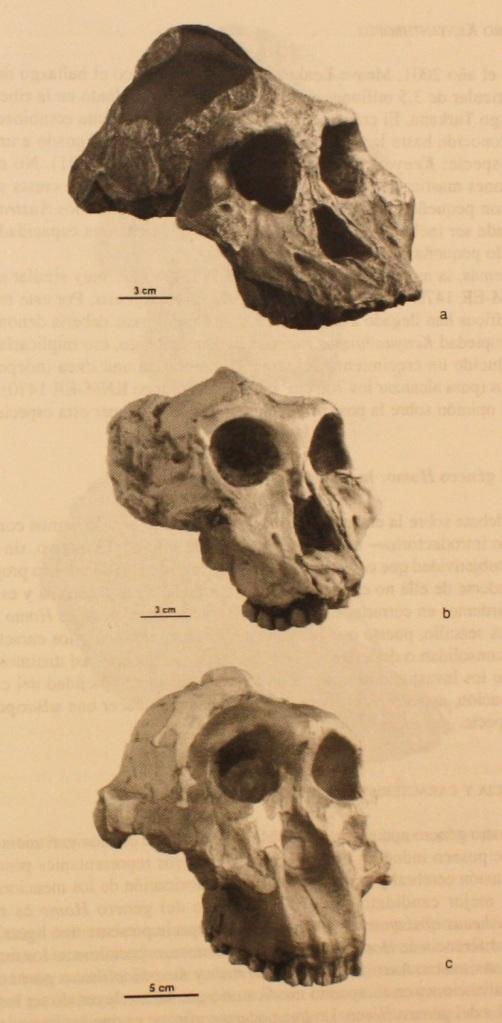 Comparación de cráneos de los paranthropus