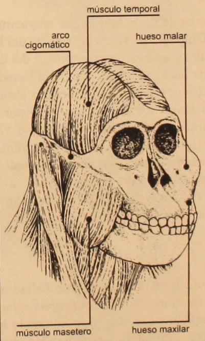 Explicación del cráneo paranthropus
