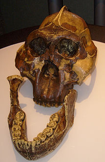 Paranthropus_boisei_skull