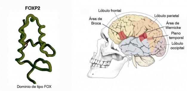 Genética neandertal