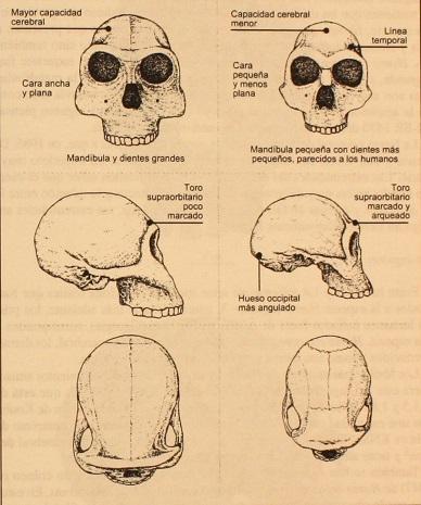 Comparación de cráneos de homo habilis y rudolphensis