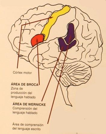 Localización del área cerebral de Broca y Wernicke