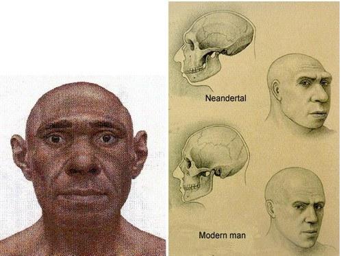 Comparación y recreación de un cráneo neandertal