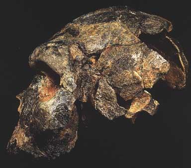 Cráneo del hombre de Bodo