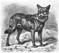 Reconstrucción del lobo silvestre domesticado