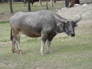 Bufalo de agua en China