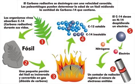 Fases del proceso de datación por carbono 14