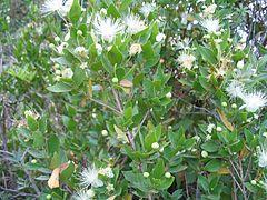 Planta del mirto, cuyo principal uso era para perfumería minoica