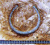 Un ejemplo de joyería torque de origen celtíbero