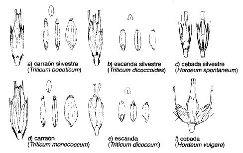 Cambios morfológicos que se dieron en los primeros cereales cultivados