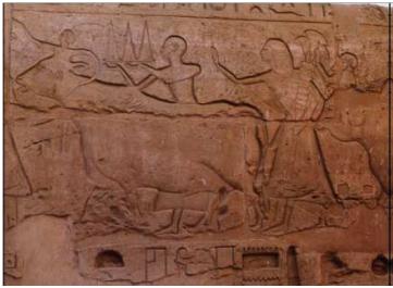 Relieves del templo de Luxor, muestran reses engalanadas que  eran conducidas en procesión para ser sacrificadas en honor a los dioses.